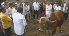 Gold In Cow Urine