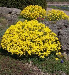 Tarica skalná ´COMPACTUM GOLDKUGEL´ Plants, Gardening, Lawn And Garden, Plant, Planets, Horticulture