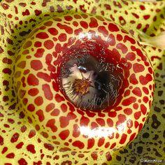 Huernia guttata flower   Flickr - Photo Sharing!