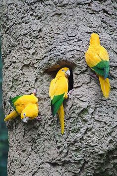 Golden Conures or Queen of Bavaria, South America.