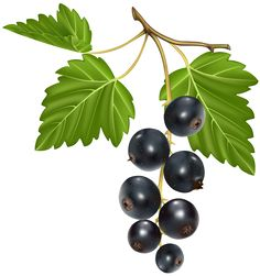 Blackcurrant PNG Vector Clipart Image