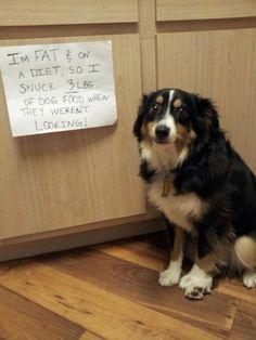 Pet shaming, dog shaming, mini Aussie, mini Australian shepherd