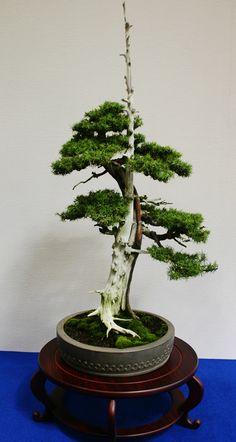 Art bonsai tree 盆栽・水石・山草フェア1
