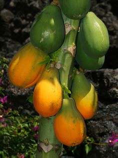 Carica papaya - Papaya, Pawpaw, lovely to start a breakfast a smidgeon of salt and a good squeeze of lime juice, follow this up with a full English fried breakfast and keep washing down with vast quantities of hot sweet black coffee.
