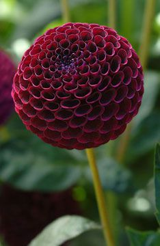 Deep crimson Dahlia, gardening, textures, flowers