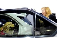Making sure that my Golden Retriever Hannah is secure in car.
