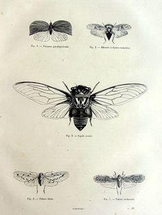 1860 vintage french gorgeous cicada print antique by TheLyraNebula, $25.00