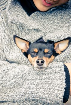 """Previous pinner said, """"Chihuahua"""" but it looks a lot like a Rat Terrier to me. (It is a beautiful Min Pin! Baby Dogs, Pet Dogs, Dog Cat, Doggies, Rat Terriers, Mini Pinscher, Miniature Pinscher, Cute Puppies, Dogs And Puppies"""