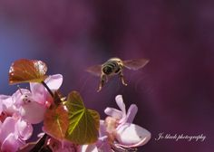 Μέλισσα/ Bee