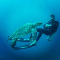Our Immersion dive team discovered an incredibly large sea turtle on their latest dive trip. It's a truly amazing experience to come face to face with a turtle while diving!