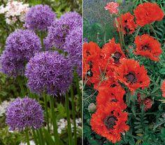 Allium & Poppy Collection    Oriental Poppy Turkenlouis  Allium Globemaster
