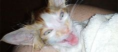 Bathing an adult cat might leave you with permanent scars, but bathing a very young kitten is not difficult and often necessary if they have fleas. A ...