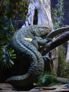 Caiman Lizard from Brazil, Photo by illmatar