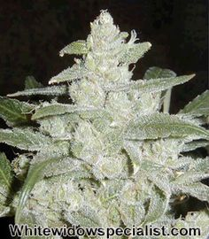 Super Silver Haze Marijuana Genetics: Composed of the very commercial strains, recognized to the western world as- Skunk, Northern Lights , and Haze. All three Royally bred from the Highly regarded H. T. Cannabis Cup victors.