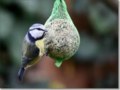 beautful; fragile little bird,pimpelmeesje.