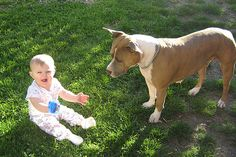 Mama Daisy - A pit bull proves a true nanny dog to the authors infant granddaughter#Repin By:Pinterest++ for iPad#