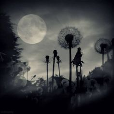 Full moon and dandelions