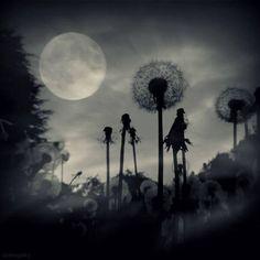 Full moon and dandelions