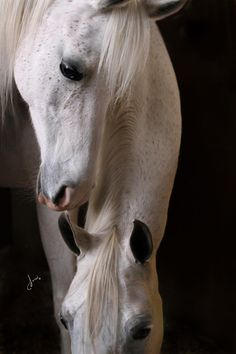 Don't know what breed this is. Maybe Arabian or Lipizzaners?  They look like Lipizzaners for sure! Just beautiful!!  Just found out they are Arabians !!!