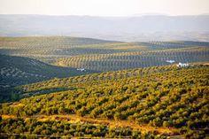 fotocórdoba: Un mar de olivos #campiña #aceite #Cordoba #CordobaESP