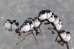 magicalnaturetour:  Birds huddle together on a tree branch during a snow storm in April Pembroke, NY. (David Duprey / AP Photo)