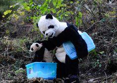 Panda suit-clad researcher readies panda cub for physical exam in China - PhotoBlog