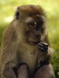 A rhesus monkey eating-Though rhesus monkeys feed mainly on leaves and roots, they supplement their diet with insects and other small animals. The Asian monkeys collect food and hoard it in specialized cheek pouches, saving morsels for later.