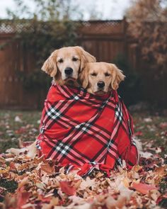 Touching photos of two adorable Golden Retrievers that are inseparable BFF Pet Shop Online, Cuddle Buddy, Cute Dogs And Puppies, Doggies, Christmas Dog, Happy Dogs, Beautiful Dogs, Beautiful Images, Puppy Love