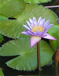 Water Lily Dwarf Small Vigorous Medium...choosing the right water lily for your pond.