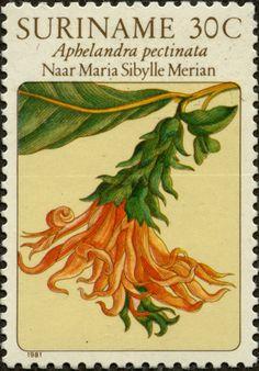 Aphelandra pectinata SURINAM 14/01/1981