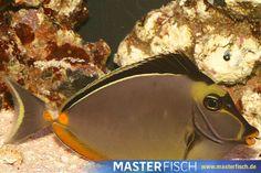Kuhkopf Doktorfisch - Naso Lituratus - MasterFisch Pets, Animals, Cow Head, Types Of Animals, Animales, Animaux, Animal, Animais, Animals And Pets