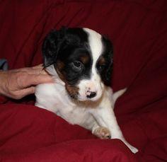 English Setter puppy for sale in OWATONNA, MN. ADN-66937 on PuppyFinder.com Gender: Male. Age: 6 Weeks Old