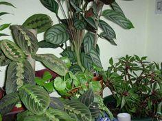 Plantas de interior la Maranta3