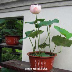 Water Lily Seeds Chinese Mini Bowl Lotus Flower Sementes Indoor Home Bonsai Nelumbo Nucifera Outdoor Garden Blooming Plants