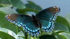Red-spotted purple butterfly    https://www.youtube.com/watch?v=aIIOHfZilKw