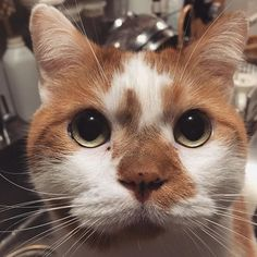 2015-10-01 11:19:58 Different Breeds Of Cats, Kitty Kitty, Cat Breeds, Animals And Pets, Smile, Kids, Pictures, Photography, Pets