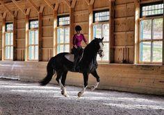 Equus caballus.