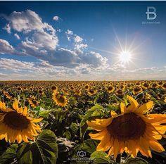 Sunflower field, Colorado