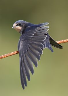 This picture was posted on another board as a swallow. But I believe this bird is a Swift. Or, also called Chimney Swift.  Anyone able to confirm? This is a native bird population suffering decline due to environmental impact issues.  They need unused, cold chimneys to borrow summer long.