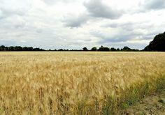 Graanveld (gemaakt in Limburg)