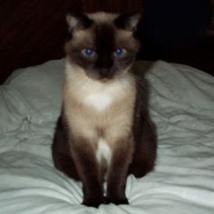 Adoptez /Adopt 3400 - Miso (Femelle, née approx. en août 2010 / Female, born approx. August 2010) http://www.refugechatsverdun.com/chats_a_adopter.html#3400 #adoptable #cat #chat #montreal #Verdunluv #foreverhome #adoptdontshop #rescuecatsarethebest