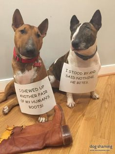 "dogshaming: ""These boots were made for nom-ing Our dogs do not snitch on each other! Best Dog Breeds, Best Dogs, Bull Terrier Funny, Mini Bullterrier, Puppies And Kitties, Doggies, Corgi Puppies, Miniature Bull Terrier, Dog Suit"