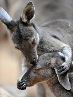 Kangaroo kisses by Mattie_Perch