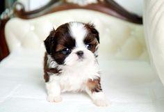 Micro Puppies