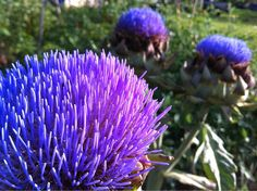 "Artichokes in bloom.They really are quite lovely (that's the ""choke"") I used to pick these .) in Solvang, California"