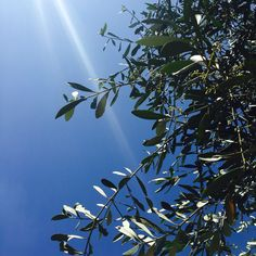 Oliivipuu
