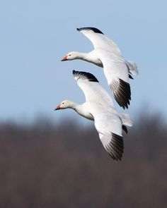 Snow Goose (Anser caerulescens) Pair banking to land | the Internet Bird Collection | HBW Alive