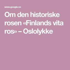 Om den historiske rosen «Finlands vita ros» – Oslolykke Den, Cold