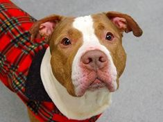 Manhattan Center ROSARIO - A0989676 MALE BROWN \/ WHITE PIT BULL MIX 4 yrs. Though this dear boy arrived as a 'stray' it's clear he was a pet just a short time ago and what a pleasure it is to spend time with him! He walks like a dream appears to be very house trained and will sit politely for a treat with no prompting.