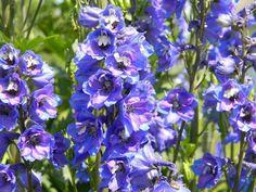 A sarkantyúfű, évelő szarkaláb (Delphinium sp. Perennial Bushes, Perennial Flowering Plants, Blooming Plants, Perennial Gardens, Purple Perennials, Flowers Perennials, Purple Flowering Bush, Delphinium, Perennials